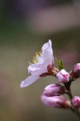 鉢植えの桃の最初の花