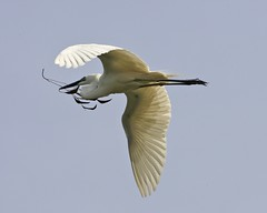 Returning with nesting material (Lip Kee) Tags: greategret ardeaalba kuntulputihbesar garabrancagrande silberreiher egrettaalbamodesta  grotezilverreiger gretthger garcetagrande grandeaigrette  aironebiancomaggiore   slvhejre ardeaalbamodesta ardeamodesta casmerodiusalbamodesta casmerodiusalbusmodesta egrettaalbusmodesta egrettamodesta  bangaubesar cangakbesar