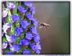 COEXISTENCE (Darshan7) Tags: flower macro nature insect wildlife bee honeybee overtheexcellence goldstaraward