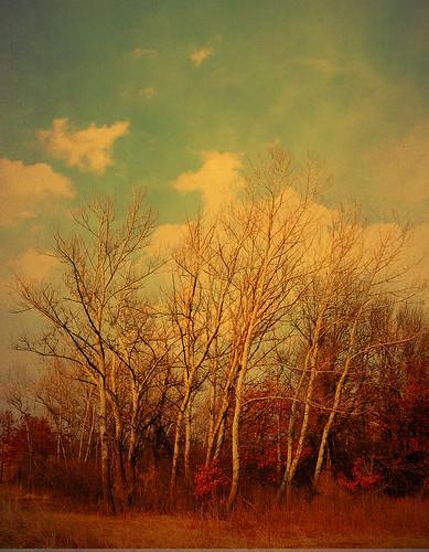 Birch Trees /