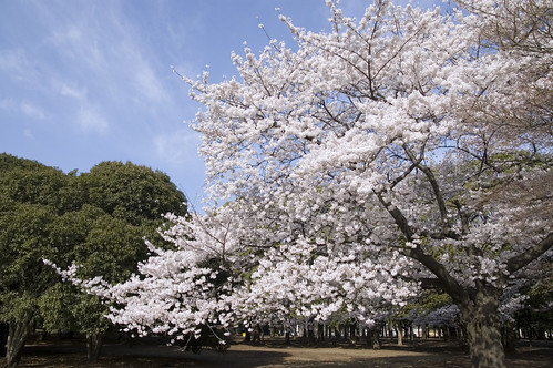SAKURA, Yoyogi Park