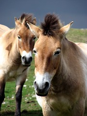 The Przewalski's (Taylor Dundee) Tags: park portrait horse nature animal scotland highlands wildlife przewalskishorse przewalski highlandwildlifepark