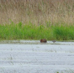 Muskrat and yellowlegs love