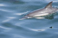 Diving (markrellison) Tags: travel blue friends sea wild holiday water europe mediterranean dolphin country diving blowhole gibraltar surfacing bottlenose dorsalfin