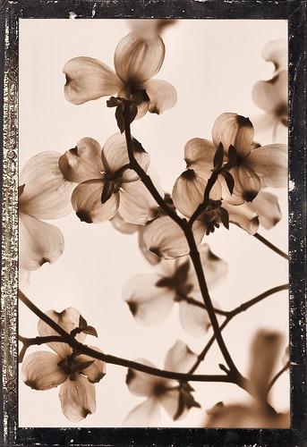 Sepia Blooms