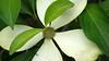 Cornus capitata (V@n) Tags: white flower greenisbeautiful may arboretum dogwood 2008 cornus vanswearingen cornaceae capitata alac lx2 cornuscapitata