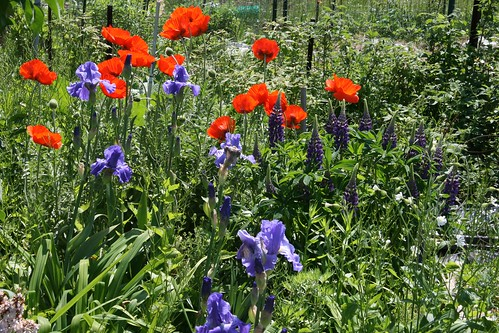 poppies, iris and lupine