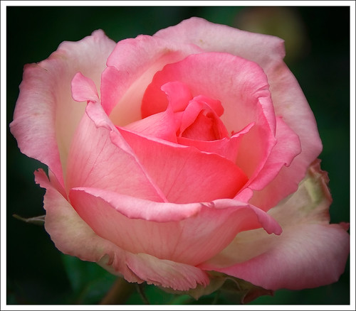 The rose of Notre-Dame
