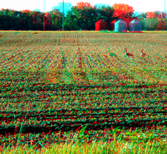 food plant bird rural geese stereoscopic stereophoto 3d spring farm wildlife anaglyph soybean anaglyphs redcyan 3dimages 3dphoto 3dphotos 3dpictures stereopicture