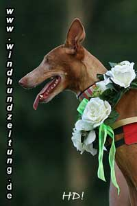 Pharaoh-Hound_HD089043