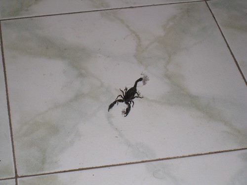 One big, black, badass scorpion greets me in the morning