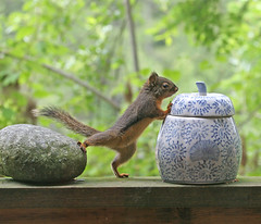 Who's Been In The Cookie Jar? (Peggy Collins) Tags: baby nature smart animal squirrel funny humorous searchthebest wildlife humor young determined squiggy leverage clever cookiejar determination ingenuity naturesfinest