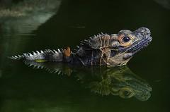 double headed dragon (jobarracuda) Tags: zoo dragon philippines avilonzoo pinas fz50 sailfinlizard panasoniclumixdmcfz50 jobarracuda photofaceoffgold a3bchallenge jobar fotocompetition fotocompetitionbronze fotocompetitionsilver