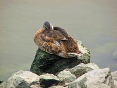 Duck, Unfed