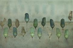 Escape pods (Mary Jane 2040) Tags: goldengatepark tick conservatoryofflowers monarchbutterfly butterflyworld chrysallis