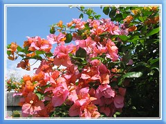 Bougainvillea 'Tropical Bouquet' that starts with orange bracts and fading fast to light pink, in our neighbourhood