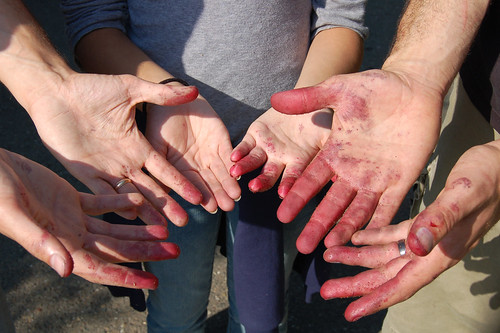 Berry-stained hands, post-picking expedition by Eve Fox copyright 2008
