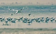 sea birds in a hot weather (mohammad khorshid (boali)) Tags: sea hot weather birds heat kuwait q8 kwt