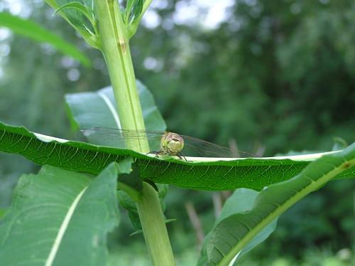 Sudenkorento puskassa