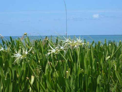 Lillies by the Sea