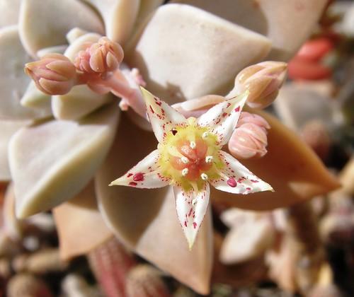 flor y pimpollos de suculenta