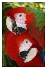 Cute and Cuddly Macaws (K Morrison Images) Tags: red birds parrot golddragon abigfave platinumphoto colorphotoaward httpwwwsdresslerdeflickr goldenheartaward vosplusbellesphotos