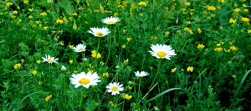 Nodding daisies