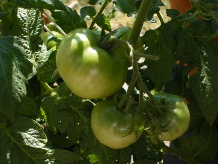 Green Tomatoes in July