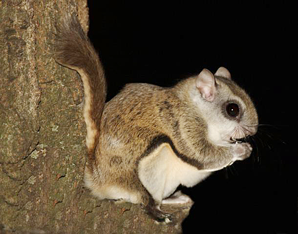flying-squirrel.jpg