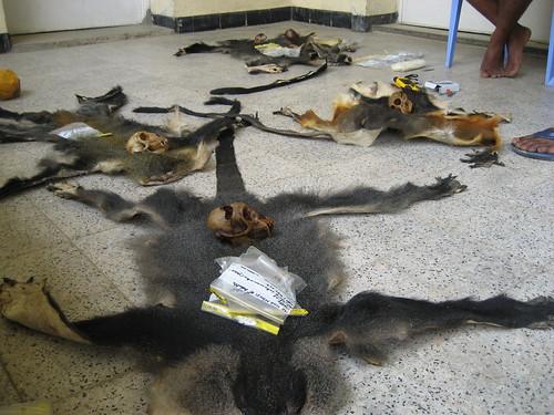 primate skins