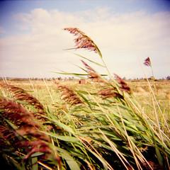 Wind (AndyWilson) Tags: film grass reeds holga fuji wind superia fields 400asa 120n pevensey chmv08 eastsusssex chpb09 ajwch