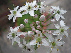 Garlic chives-little blighters! (Nasaw views) Tags: garlic chives blighters