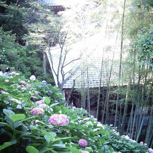 【写真】ミニデジ(MiniDigi)で撮影した、紫陽花の名所鎌倉長谷寺 眺望散策路(アジサイの径)の紫陽花