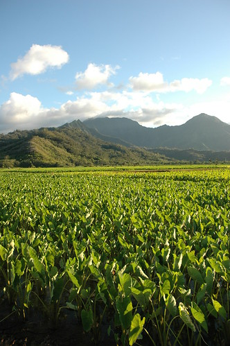 Kauai - Hanalei Valley Lookout - Taro Field