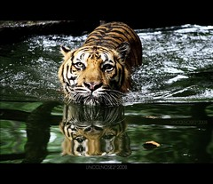 Siamese Twins (LINCOLNOSE2) Tags: reflection water swim zoo twins bath tiger siamese national malaysia kualalumpur distillery ampang nationalgeographic splashing zoonegara harimau canoneos400d omot anythingtiger canon55250is tigerloverz lincolnose22008 flickrlovers