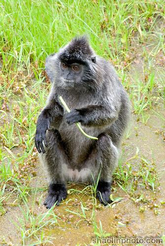 Silverred or Langur/Lutung Leaf Monkey