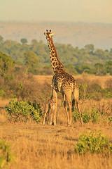 Mother and baby giraffe having a hug (Liz Faulkner) Tags: africa sunrise canon photography kenya safari explore giraffe calf masaimara babygiraffe motherandcalf diffanglephoto lizfaulkner copyrightelizabethfaulknerdiffanglephotolrps