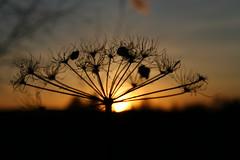 sunset silhouette (Danger 80) Tags: park sunset 20d silhouette canon eos warrington saxon