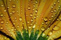 """""""Gocce di vita"""" (raffaphoto©) Tags: flowers macro yellow drops gerbera raffaella newlight nonèvero outstandingshots invidioso figuraticonlalcoolpost31dicembre2009 siiiiiièveroinvece naaaaanoncicredo siiiisonoastemiaaa"""