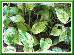 Epipremnum aureum 'Marble Queen' (Pothos, Devil's Ivy, Money Plant, Silver Vine) in our garden bed