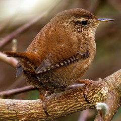 Big Garden Birdwatch (Roger B.) Tags: bird garden wren 50200mm rspb troglodytestroglodytes zd biggardenbirdwatch