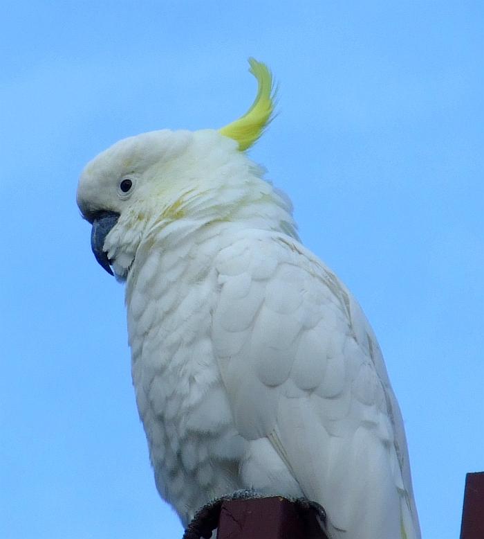 coy cockatoo 01