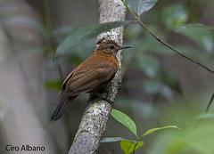 """Ceará"" Rufous-breasted Leaftosser_Sclerurus scansor cearensis"