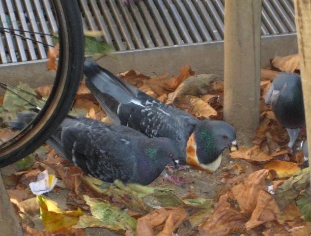Trendy Pigeon (1)