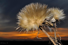 Spikes at dusk (Photography by Darren R) Tags: sunset rural landscape 50mm weed nikon thistle australia thorn d90