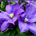 Clematis Cluster