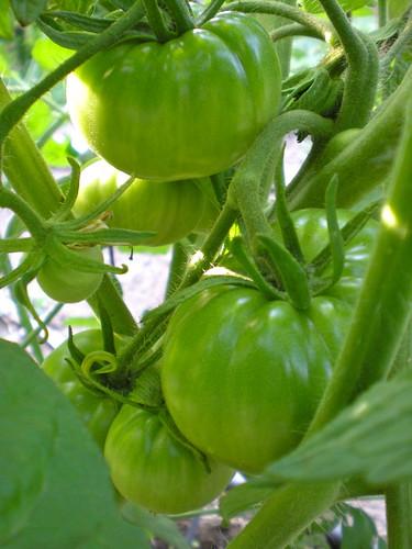 zebra green tomato