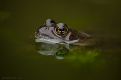 Frog (birdfan2) Tags: reflection pond frog pondlife vision:outdoor=0588