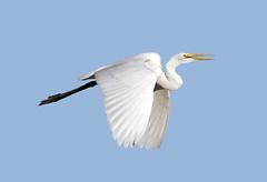 Great Egret (Ed Sivon) Tags: vegas lake southwest bird nature water canon lasvegas wildlife nevada 300mm nevadadesert clarkcounty