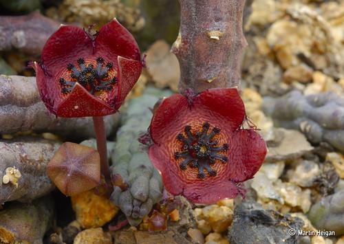Tromotriche longii flowers